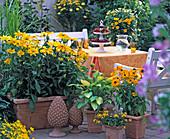 Rudbeckia 'Prairie Sun', 'jam' (coneflower)