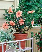 Hibiscus rosa-sinensis (rose marsupial) apricot-orange