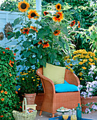 Helianthus annuus and 'Ring Of Fire' (sunflowers