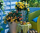 Begonia 'Illumination' yellow and apricot