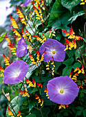 Ipomoea 'Heavenly Blue' (Morning Glory)