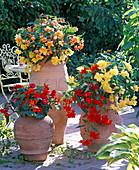 Begonia 'Illumination' (garland begonia) yellow, light red, apricot