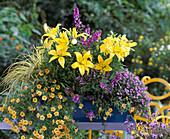 Lilium (lily), Calibrachoa 'Sun' (nightshade)