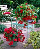 Begonia 'Illumination' (Garland Begonia) Pink