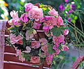 Rosa 'Bonica' (Rose), Lathyrus odoratus (sweetpea)