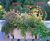 Thymus (thyme), Salvia 'Icterina' (sage)