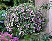 Calibrachoa 'Light Pink'