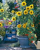 Helianthus 'Prado Gold', 'Teddy Bear' (Sunflower)