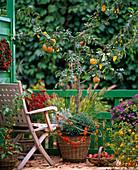 Malus (apple and ornamental apple tree)