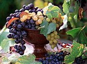 Vitis (grape) blue and yellow in a brown shell