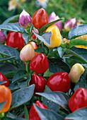 Capsicum annuum (ornamental paprika)