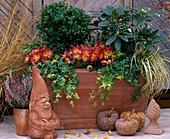 Buxus Box, Rhododendron, Hedera 'Goldstar' Ivy, Chrysanthemum, Carex