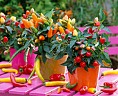 Capsicum annuum ornamental peppers and hot peppers, colorful plastic pots, pink table