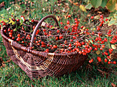 Rosa canina (rosehips in the basket)