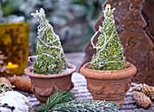 Cupressus 'Goldcrest' (cypress)