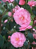 Camellia 'Spring Festival' (Pink Camellia Blossom)