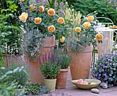 English Roses, David Austin 'Golden Celebration'