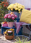 Chrysanthemum (großblumige Topf-Chrysanthemen), Capsicum (Zierpaprika)