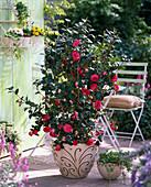 Camellia japonica (Camellia), Hedera (Ivy)