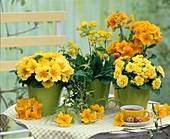 Primula acaulis and Elatior (primrose)