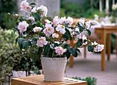 Camellia japonica 'Berenice Boddy' (camellia)