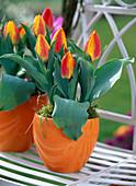 Tulipa 'flair' (tulip) in orange pots, moss