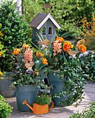 Tulipa (tulip) orange blooming, hedera (ivy)