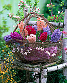 Basket with Hyacinthus 'Gipsy Queen', 'Jan Bos', 'Apricot Passion'