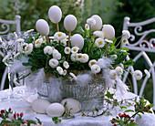 White Easter decoration, Bellis (White Daisies)