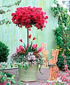 Rhododendron 'Toreador' (Japanese azalea)