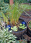 Terracotta pots with Carex (sedge), Thalia dealbata