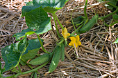 Flowering cucumber, pickled cucumber (Cucumis) on straw mulch cover