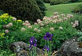 Pulsatilla alpina 'Sulphurea' (Alpen-Anemone, Alpen-Kuhsschelle) und Iris hollandica (Hollandiris)