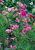 Cosmos bipinnatus (garden cosmos)