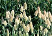 Lagurus Ovatus (annual grass)