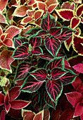 Solenostemon scutellarioides syn. Coleus blumei mixed in the bed