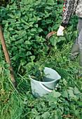 Produce stinging nettle broth, cut stinging nettle