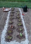 Wood ash around freshly planted salad is designed to deter pests