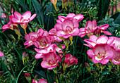 Freesia 'Pink Devotion' (Freesia)