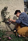 Cutting rose plants, climbing rose