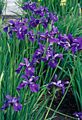 Iris sibirica (Siberian meadow iris)
