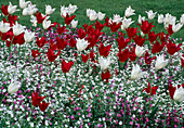 Tulipa (tulips) lily-flowered with Silene (carnations)