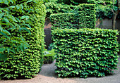 Carpinus betulus (hornbeam) hedges share garden spaces