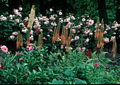 Eremurus (steppe candle) and Rosa (rose)
