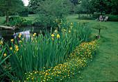 Pond in the garden, Iris pseudacorus and Ranunculus acris as shore planting