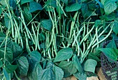Bush beans (Phaseolus) in the bed