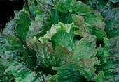 Salad Batavia 'Red Rossia' (Lactuca)