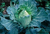 Pointed cabbage, summer cabbage, wild herbs