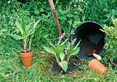 Plant Convallaria