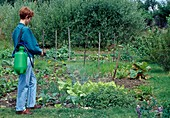 Woman injecting chard against diseases and pests